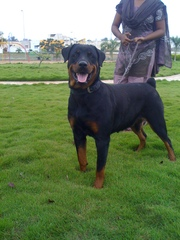 rottweiler puppies from champion blood line for sale
