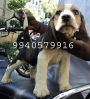 BEAGLE, GREAT DANE, GOLDEN RETRIVER, MINATURE POMERIAN PUPPIES sale