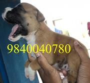 QUALITY BOXER PUPPIES FOR SALE CHENNAIiiiiii