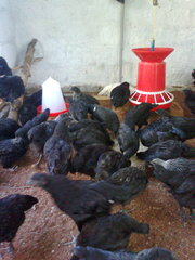 kadaknath chicken for SALE