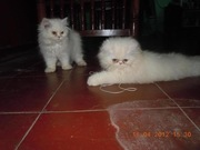 Cute White Persian Kittens