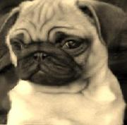 Imported pug puppies for sale
