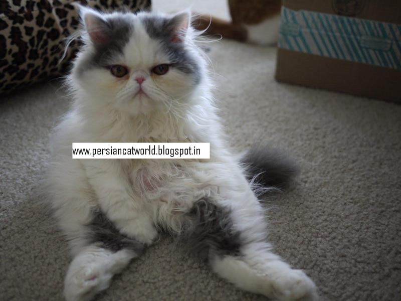 Persian cats goa