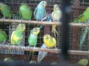 love birds for sale in chennai