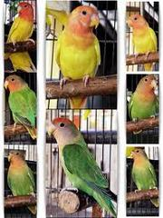 wanted birds for sale in chennai ct 9444052777