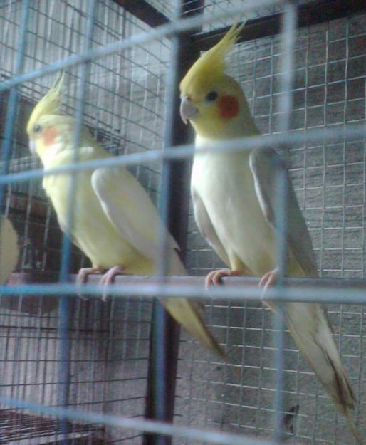 Love Bird Picture For Sale Classified Advertising