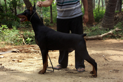 DOBERMANN ADULT MALE FOR SALE