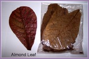 Fighter Fish Medicine-Ketapang Leaf