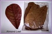 Fighter Fish Medicine-Ketapang Leaf