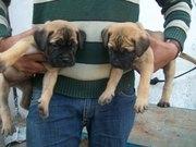 kci regd bullmastiff puppies for sale in Kerala import pedigree