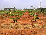 Tirunelveli,  Nr. Nanguneri Tollgate 7 Acrea farm land sale