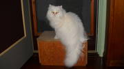 TOP QUALITY PERSIAN KITTENS FOR SALES @ CRAZY PETS ZONE CHENNAI !!