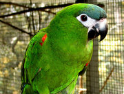 Hahn's Mini Macaws, DNA sexed Adult Breeding pairs for sale