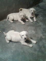 KCI Labrador Retriever Pups Available